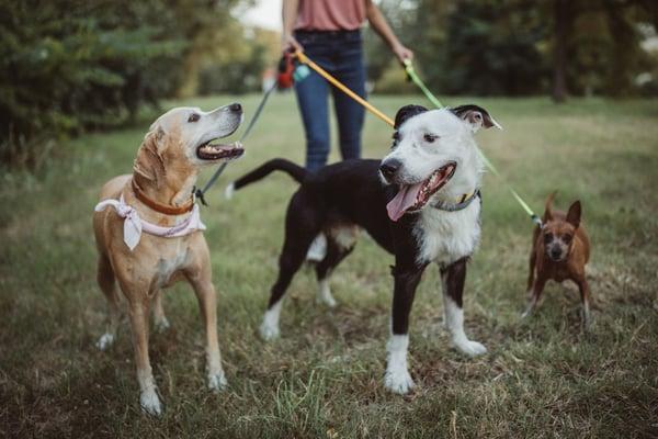 Walking neighbors dogs