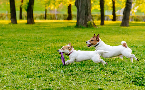 Two dogs running in a dog park