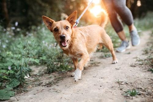 Dog walking through local trail